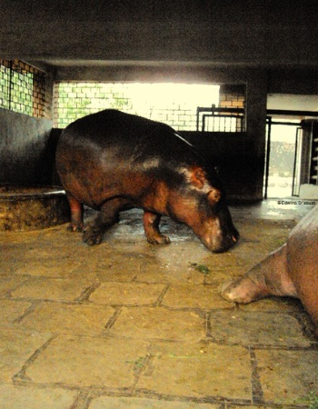 Byculla Zoo - Hippopotamus