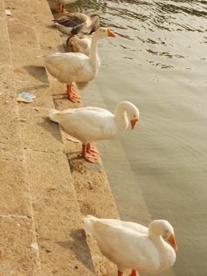 Banganga tank mumbai - Ducks