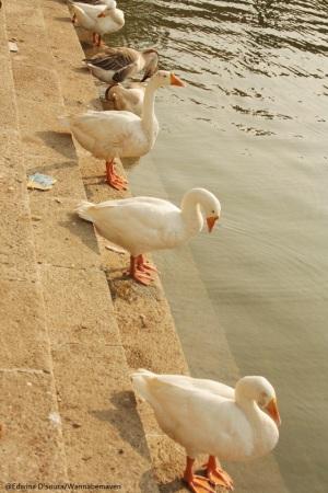Banganga - Ducks