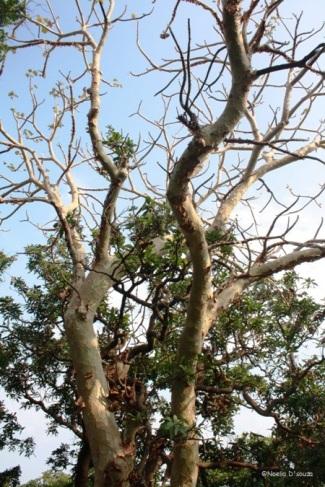 Karnala Bird Sanctuary - Ghost Tree