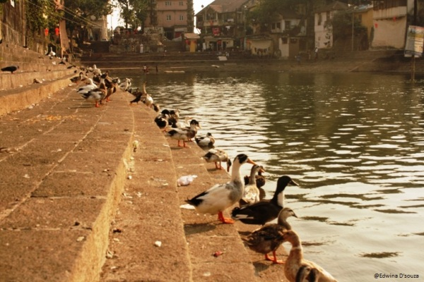 Ducks at Banganga tank mumbai