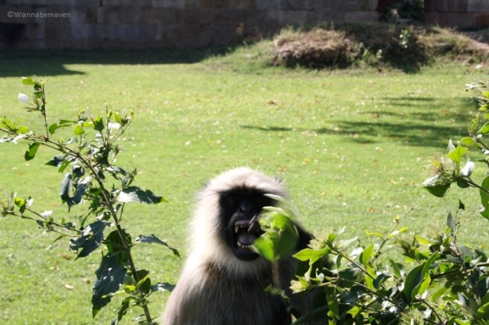 monkey at Champaner - Pavagad Archaeological site